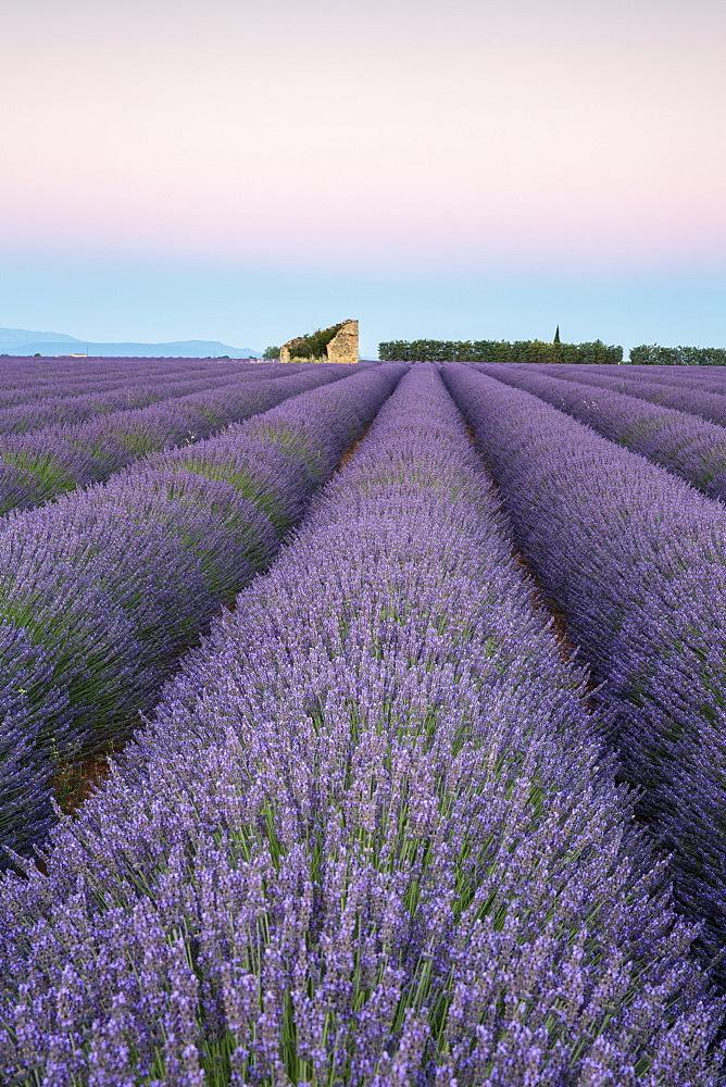 Ruins in a lavender field at dawn. Plateau de Valensole, Alpes-de-Haute-Provence, Provence-Alpes-Cote d'Azur, France.