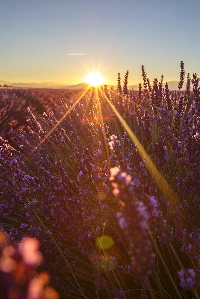 Sunrise over lavender fields. Plateau de Valensole, Alpes-de-Haute-Provence, Provence-Alpes-Cote d'Azur, France.