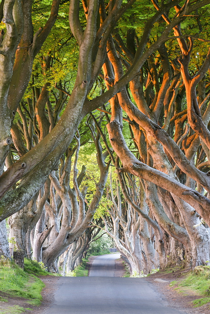 Dark Hedges near Stanocum, County Antrim, Ulster, Northern Ireland, United Kingdom, Europe