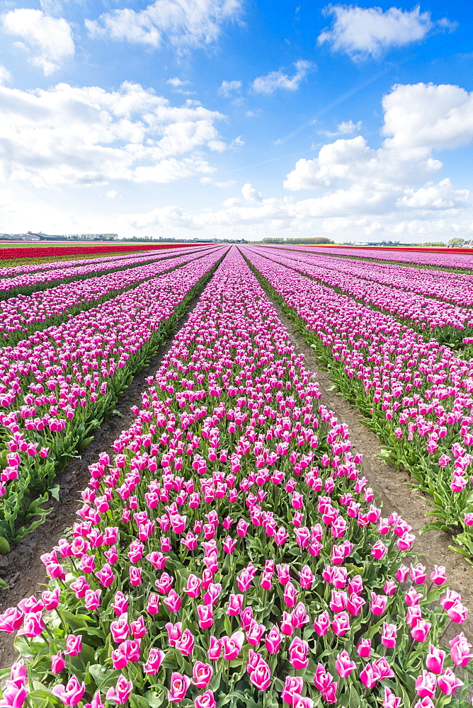 Pink and white tulips and clouds in the sky. Yersekendam, Zeeland province, Netherlands.
