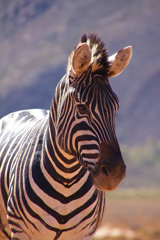 A zebra of Aquila Safari game reserve, Cape Town, South Africa. - 1262-202