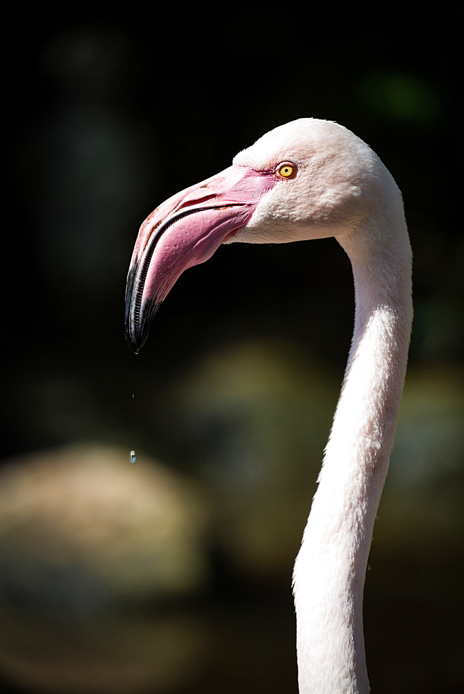 Pink Flamingo head and neck, Birds of Eden in Plettenberg Bay, South Africa, Africa