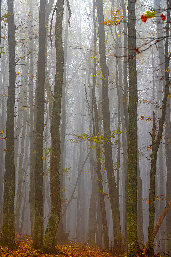 Forest in fog, Casentinesi Forests National Park, Apennines, Tuscany, Italy, Europe - 1264-304