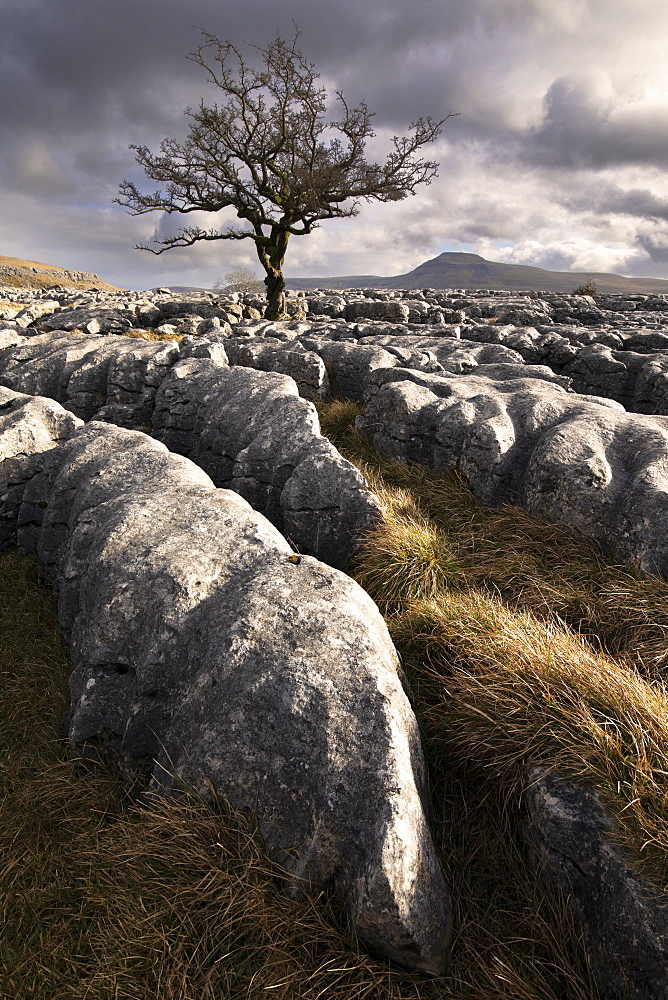 Limestone pavement and Hawthorn tree with the peak of Ingleborough visible in the background, Twisleton Scar, Yorkshire Dales, Yorkshire, England, United Kingdom, Europe