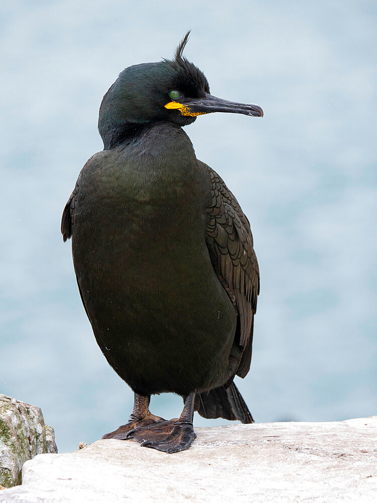 European or Common Shag (Phalacrocorax aristotelis) on cliff edge at Inner Farne Island, Farne Islands, Northumberland