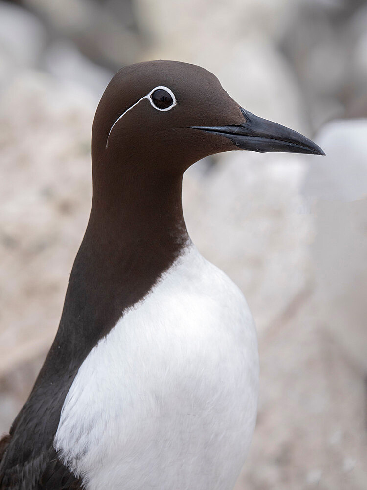 Bridled Common Guillemot (Uria aalge) at Inner Farne Island, Farne Islands, Northumberland - 1266-183