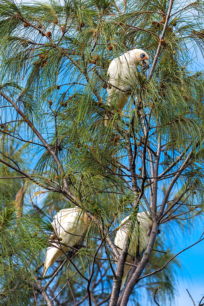 Goffin cockatoos in the trees at Cape Byron Bay, New South Wales, Australia, Pacific