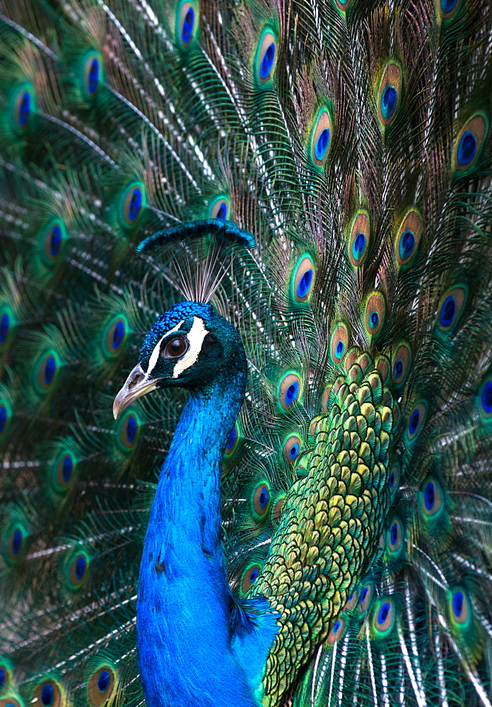 Indian Peacock Pavo Cristatus plumage display in the grounds of Barcelona zoo. Catalonia, Spain. - 1267-189
