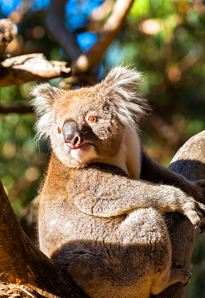 Wild Koala in the trees on Kangaroo Island. South Australia, Australia, Pacific