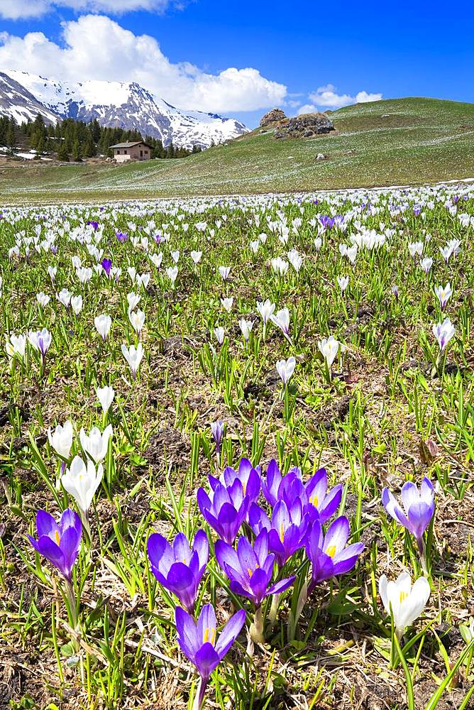 Flowering of Crocus nivea at Alp Flix. Alp Flix, Sur, Surses, Parc Ela,Region of Albula,Canton of Graubünden,Switzerland,Europe. - 1269-158