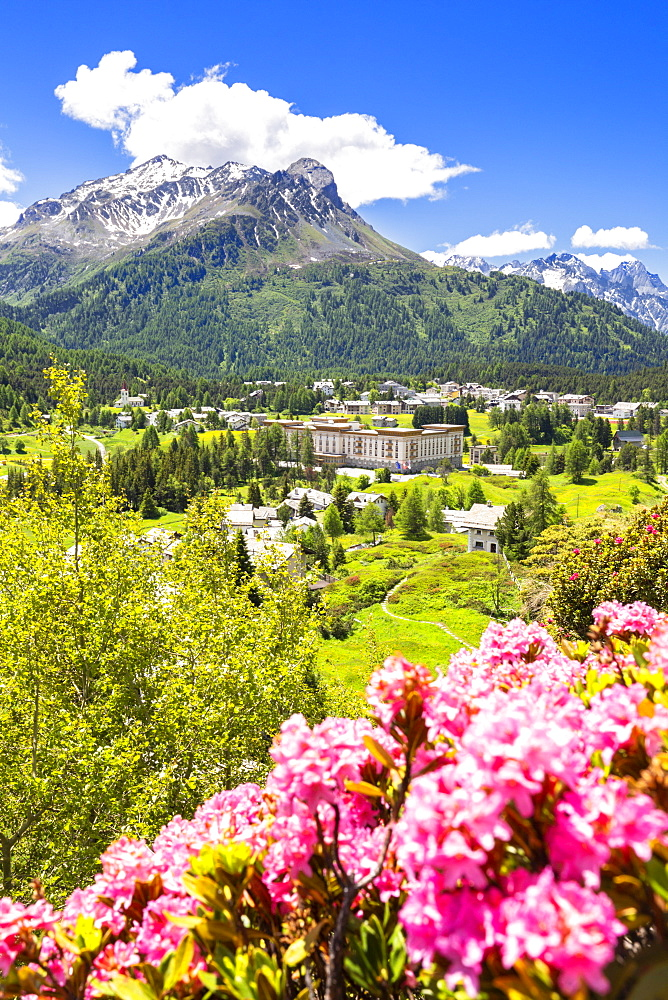 Rhododendrons with Maloja Pass in the background, Maloja Pass, Engadine, Graubunden, Switzerland, Europe - 1269-192
