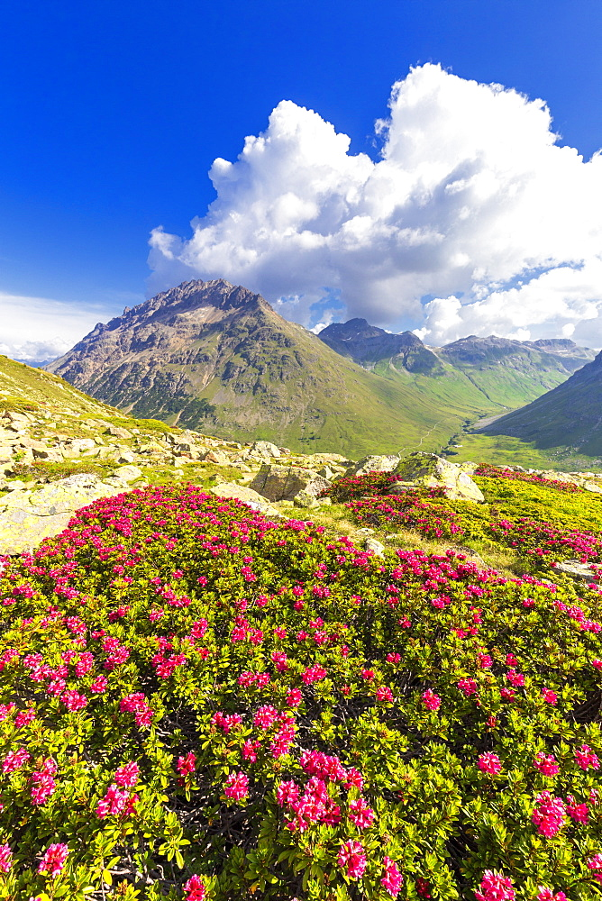 Rhododendrons with Val dal Fain in the background, Bernina Pass, Engadine, Graubunden, Switzerland, Europe - 1269-193