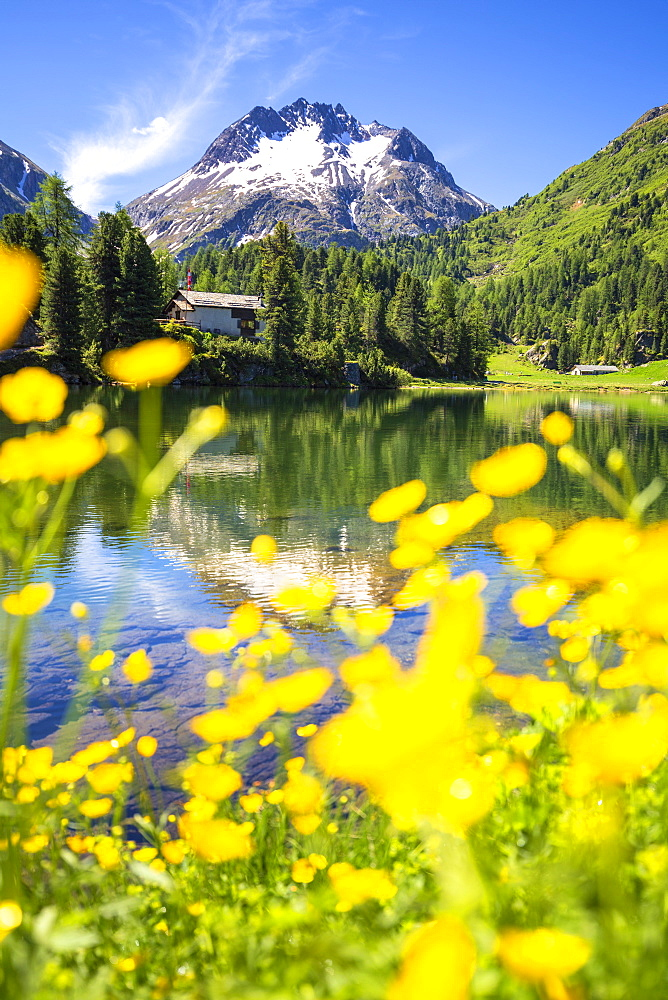 Summer flowers at Lake Cavloc, Forno Valley, Maloja Pass, Engadine, Graubunden, Switzerland, Europe - 1269-200