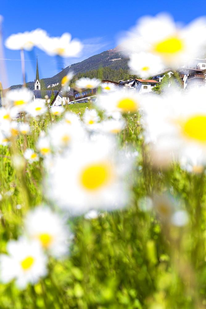 Flowering of daisies in Davos Wiesen, Parc Ela, Prettigau/Davos, Graubünden, Switzerland, Europe. - 1269-205