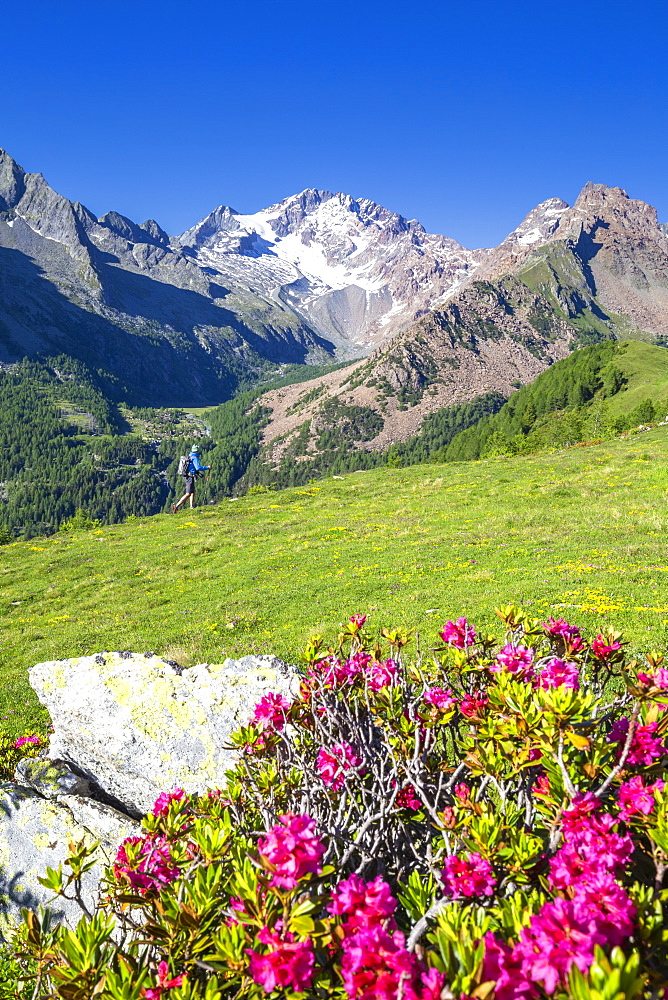 Hiker and rhododendron flowers, with Mount Disgrazia in the background, Scermendone, Valmasino, Valtellina, Lombardy, Italy, Europe