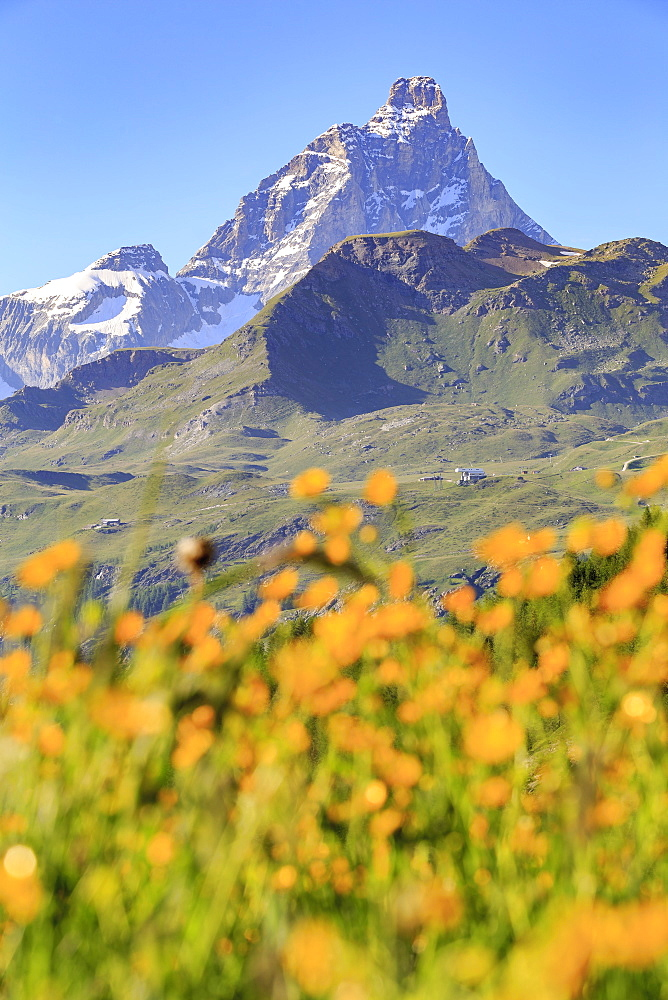 Summer blooms with the Matterhorn in the background. Cheneil, Valtournanche, Aosta valley, Italy, Europe