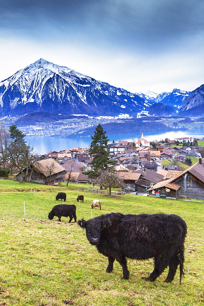 Cow grazing at Sigriswil, Canton of Bern, Switzerland, Europe.