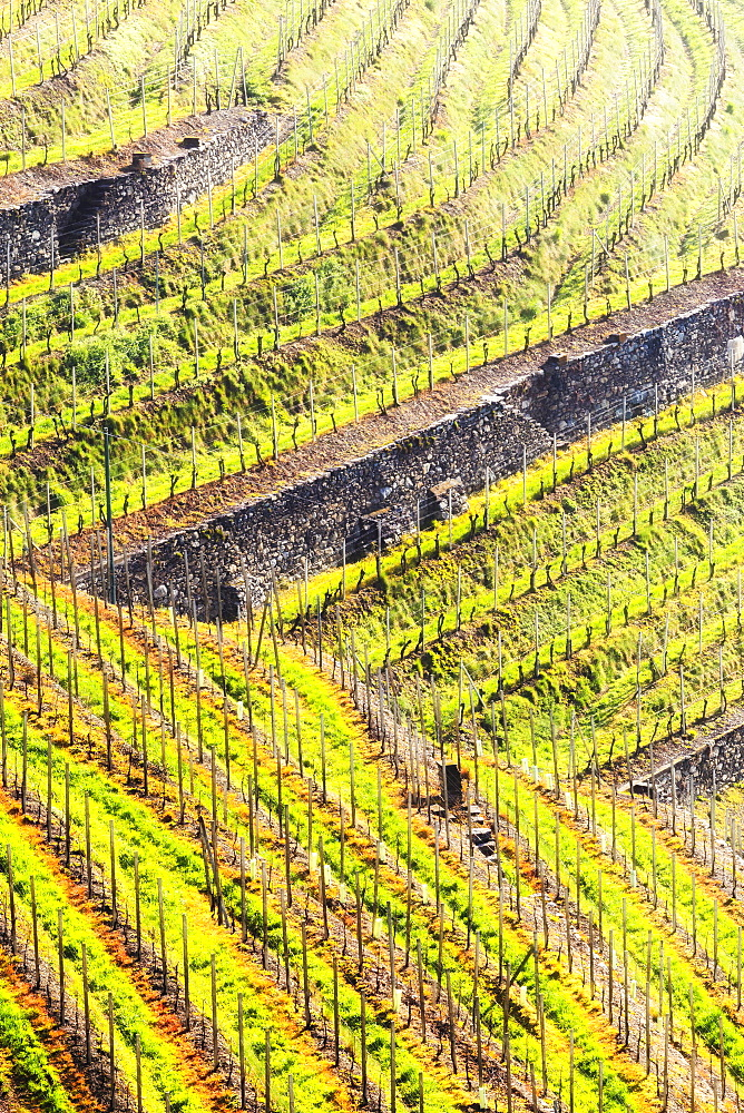 Sunlight in the wineyards at spring. Bianzone, Valtellina, Lombardy, Italy, Europe. - 1269-452