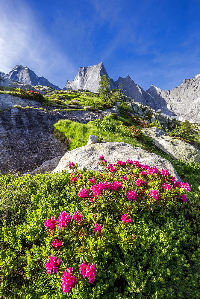 Rhododendrons in flower with the Pizzo Badile in the background, Bregaglia valley, Graubunden, Switzerland, Europe - 1269-621