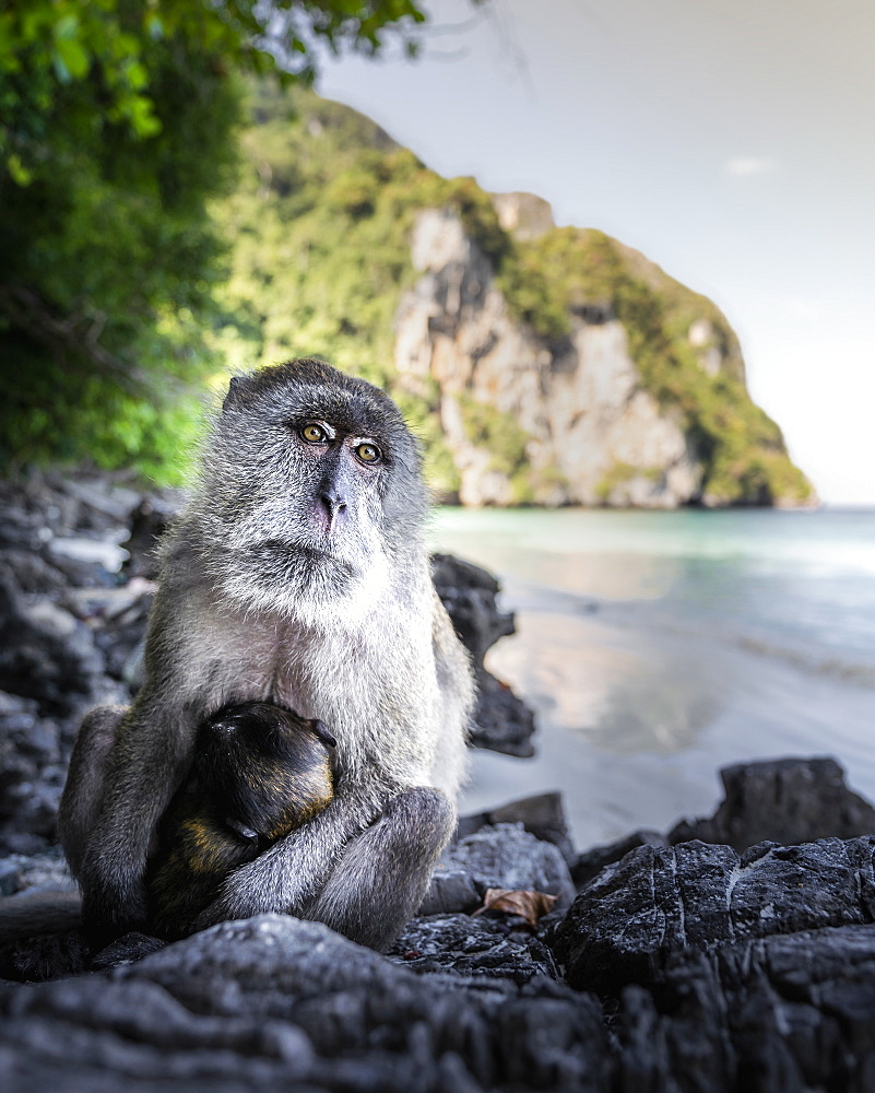 Monkey at Yong Kasem beach, known as Monkey Beach, Phi Phi Don Island, Thailand, Southeast Asia, Asia