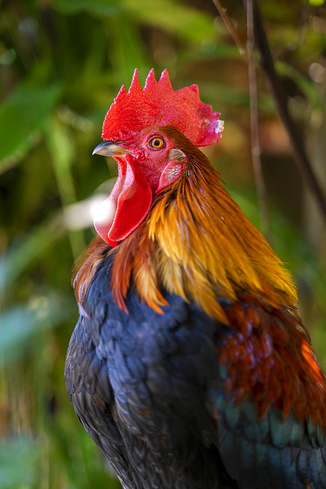 Rooster standing with blurred nature background, Ko Lanta Island, Phang Nga Bay, Thailand, Southeast Asia, Asia