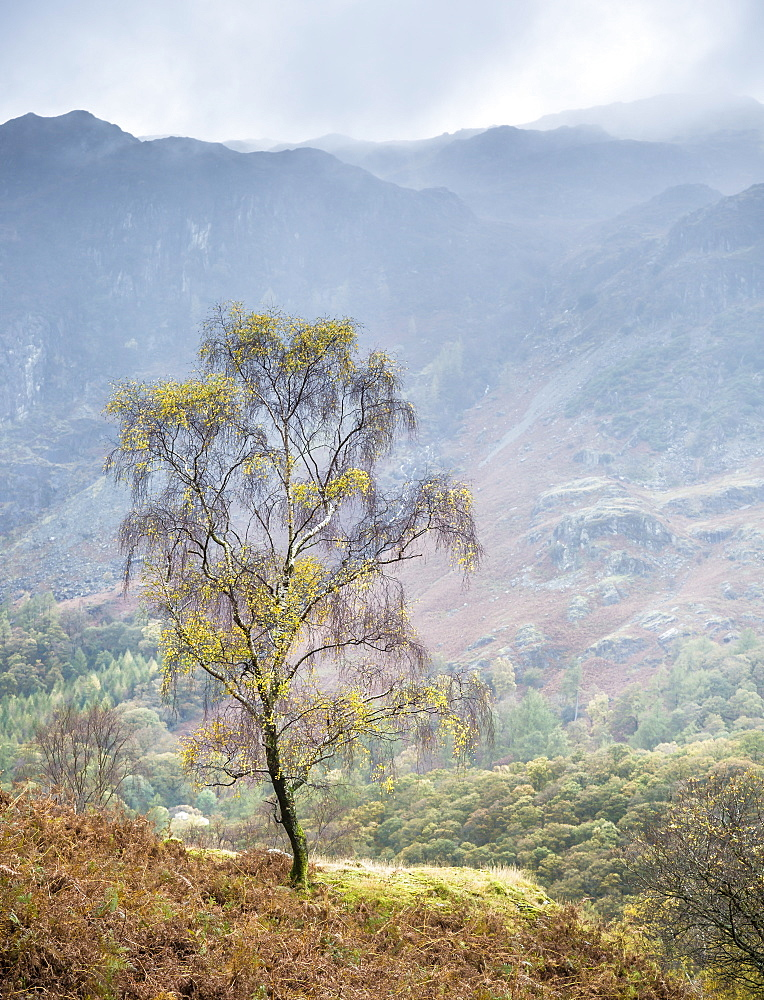 Lone tree, Grange, Lake District, Cumbria, England, United Kingdom, Europe - 1282-4