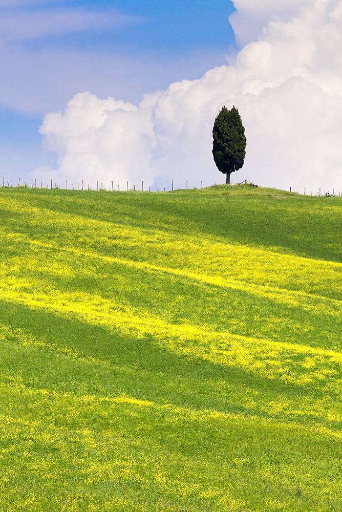 Green fields, Cypress trees and blue sky in Val d'Orcia, UNESCO World Heritage Site, Tuscany, Italy, Europe - 1284-119