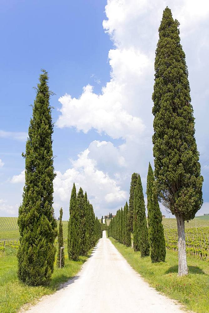 Cypress trees leading up a long path to Tuscan farm house, with blue sky, Tuscany, Italy, Europe