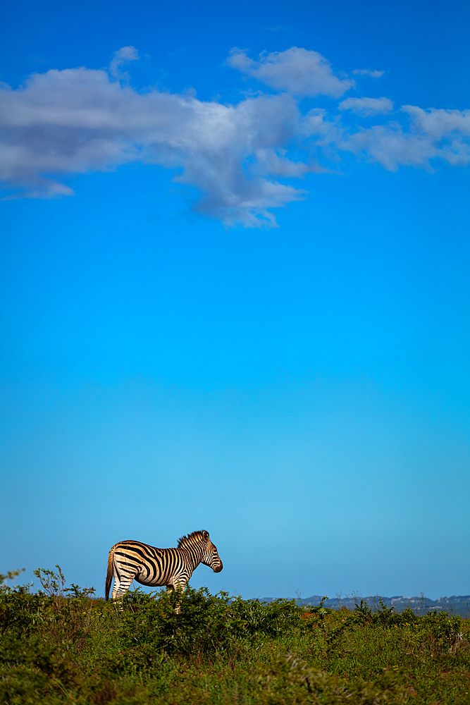 Zebra on Safari, South Africa, Africa - 1304-103