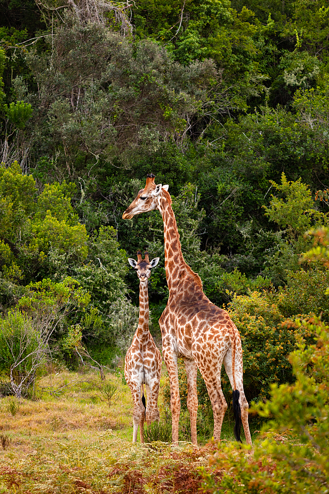 Giraffes on Safari in South Africa, in a private game reserve, South Africa, Africa - 1304-111