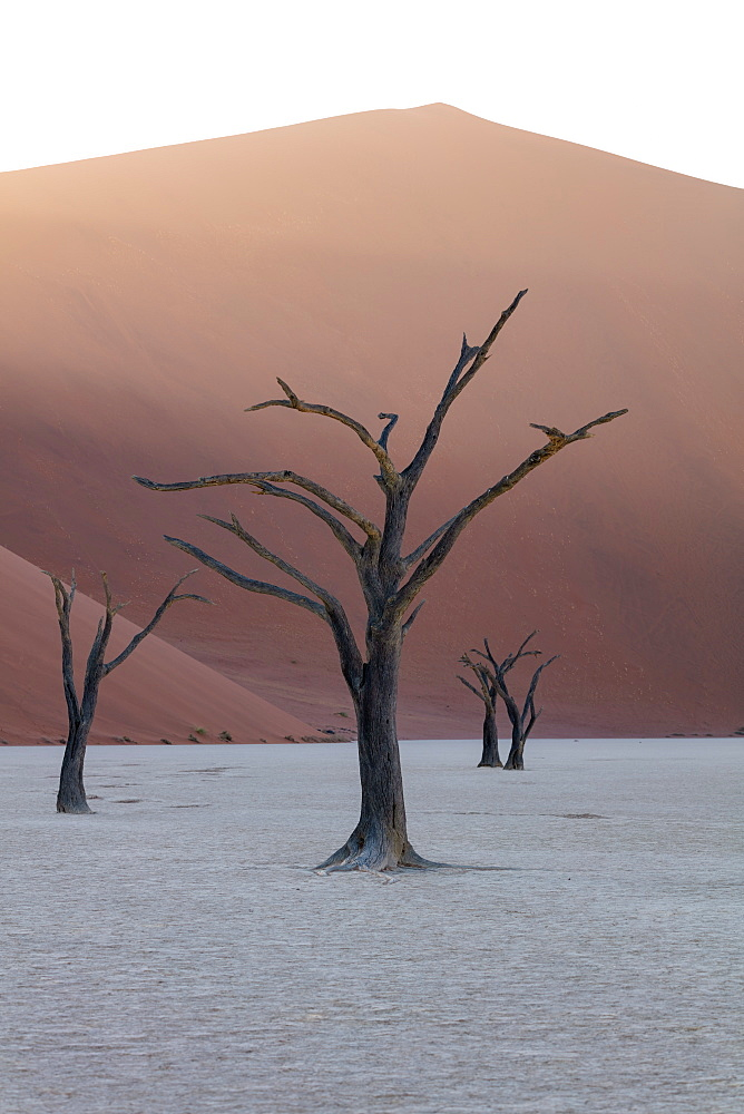 900 year old dead trees shot at Deadvlei at sunrise among the big Daddy Dune, Sossusvlei, Namibia, Africa - 1304-35