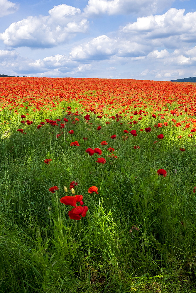 A field of poppies set in the beautiful Derbyshire countryside, Baslow, Derbyshire, England, United Kingdom, Europe