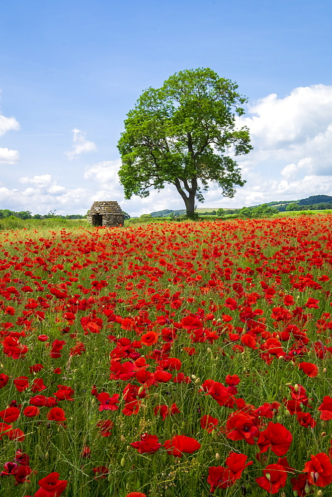 Beautiful red poppies in the Derbyshire countryside, Baslow, Derbyshire, England, United Kingdom, Europe