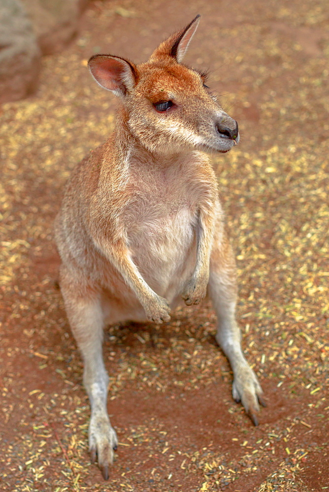 Wallaby on the ground outdoors, New South Wales, Australia, Pacific - 1314-194