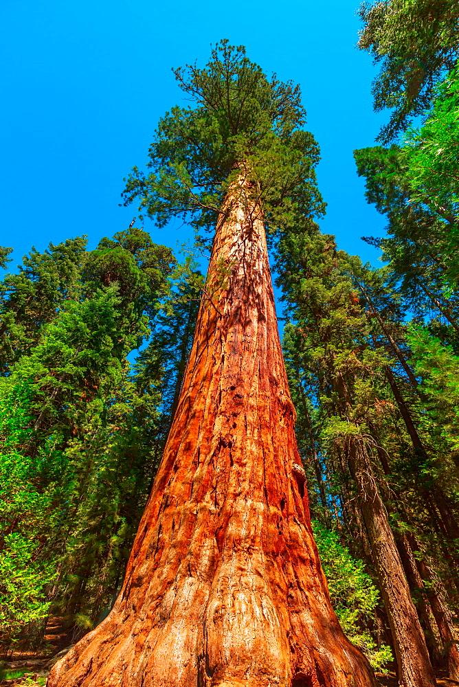 close up of sequoia tree in Sequoia and Kings Canyon National Park in the Sierra Nevada in California, United States of America. Sequoia NP is famous for its amount of Sequoiadendron giganteum tree - 1314-229