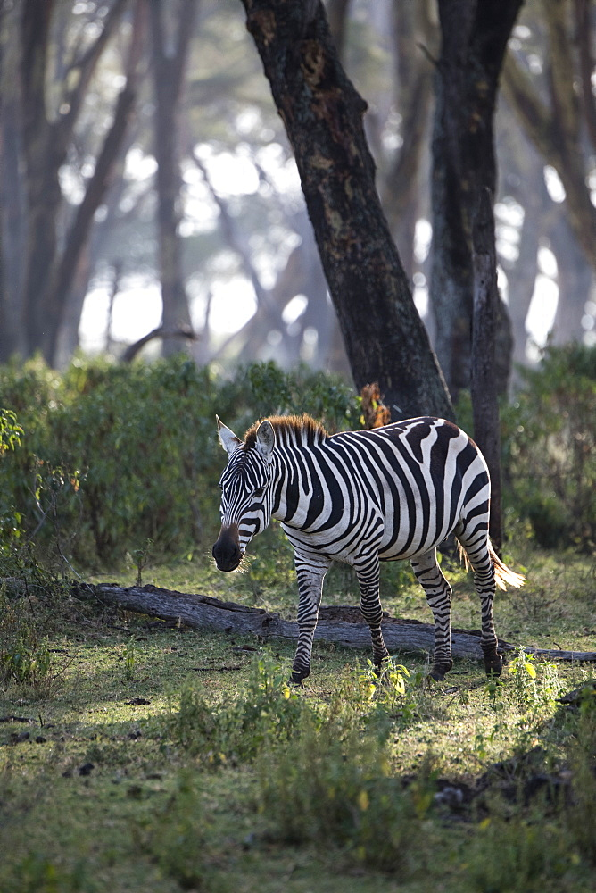 Zebra in early morning. Crescent Island Game Sanctuary, Lake Naivasha, Great Rift Valley, Kenya, East Africa, Africa