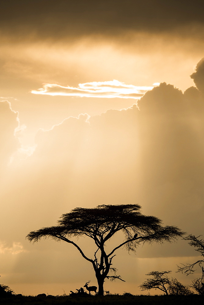Impala (antelope) taking shelter under an acacia tree during a storm at sunset in the Maasai Mara National Reserve, Kenya