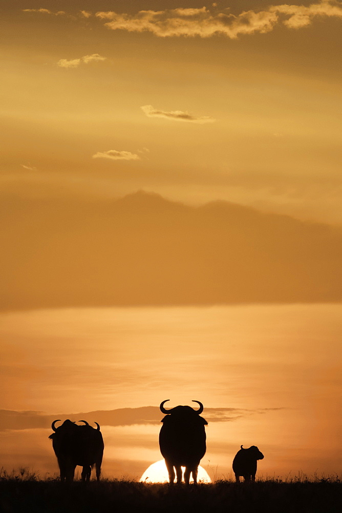 Cape buffalo in silhouette at sunset on the Maasai Mara, Kenya