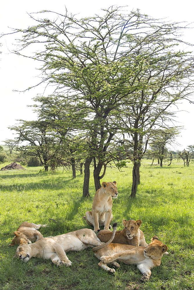 Lions lounging in the shade, afternoon on the Maasai Mara, Kenya