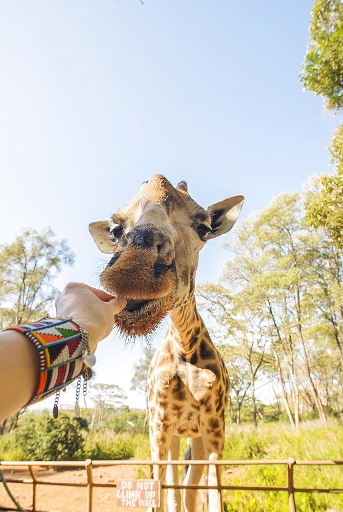 Feeding a giraffe in Nairobi, Kenya, East Africa, Africa - 1315-58