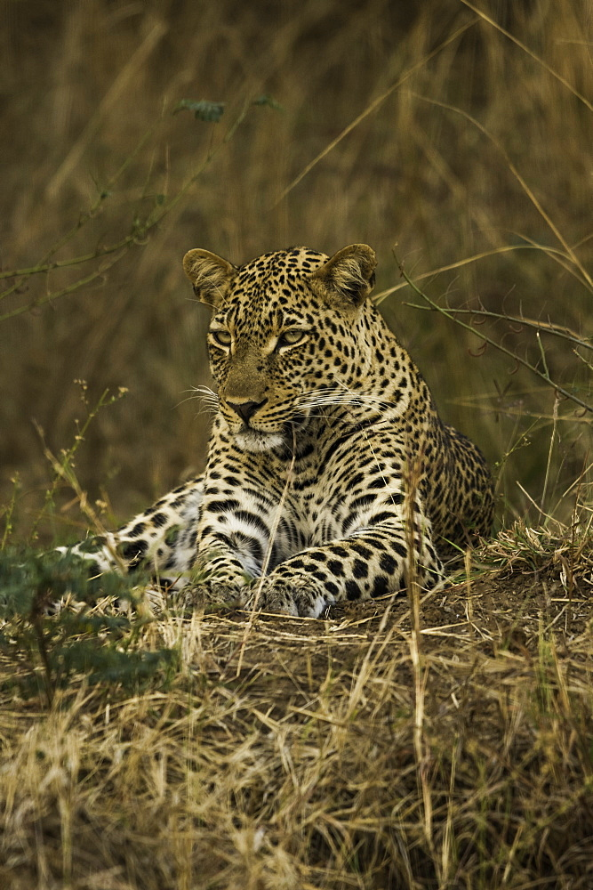 Camouflaged Leopard rests in brush and tall grass, South Luangwa National Park, Zambia - 1320-58