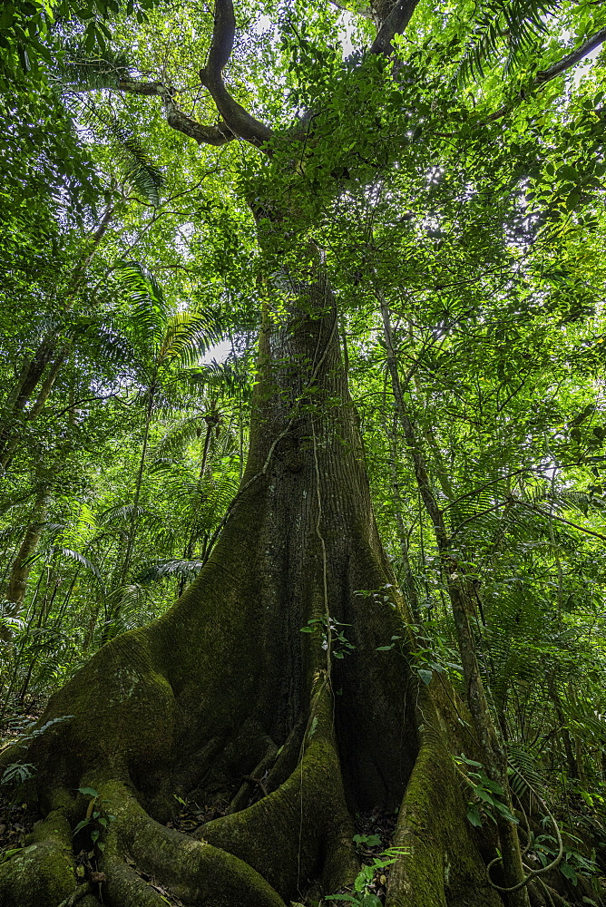 A large tree located in the forest of the Soberania National Park, Panama, Central America