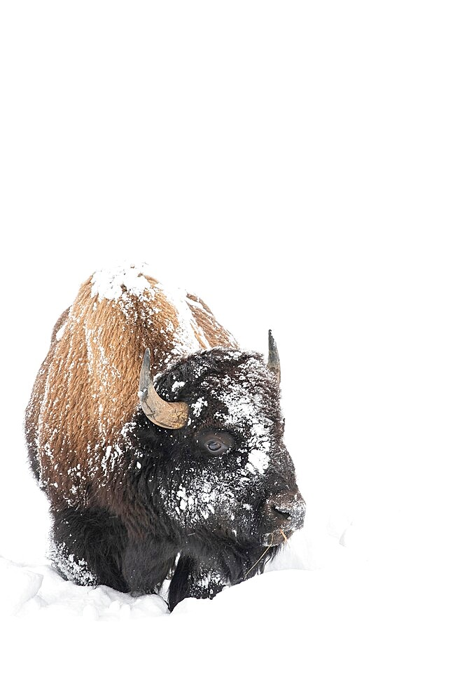Vertical of American Bison, Bison Bison, covered in snow - 1335-114