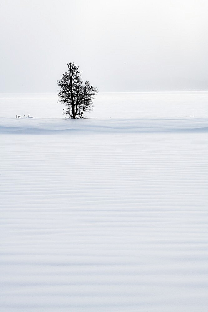 Lone tree in snow dune, Yellowstone National Park, Wyoming, United States - 1335-117