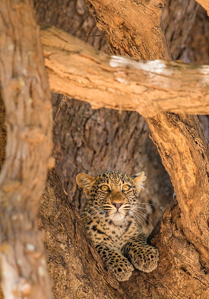 Young leopard, Panthera pardus, framed by branches, South Luangwa National Park, Zambia - 1335-161