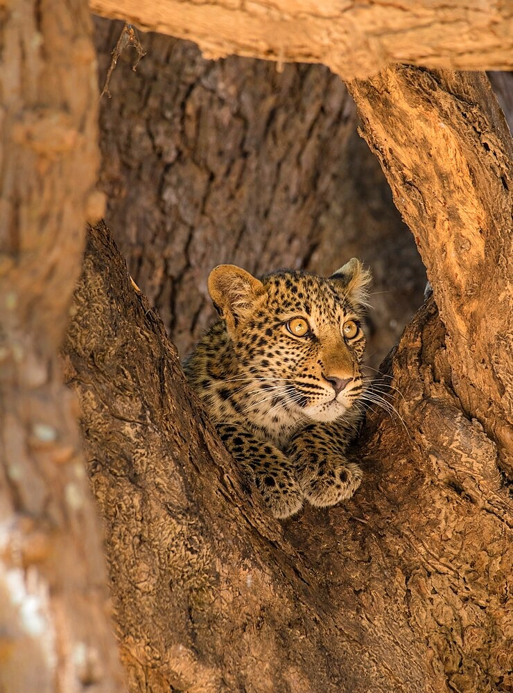 Young leopard, Panthera pardus, framed by branches, South Luangwa National Park, Zambia - 1335-162