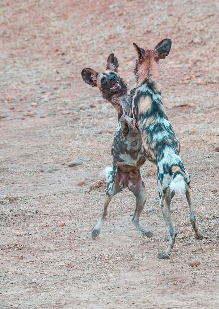 African wild dogs, Lycaon pictus, standing and playing, South Luangwa National Park, Zambia - 1335-166