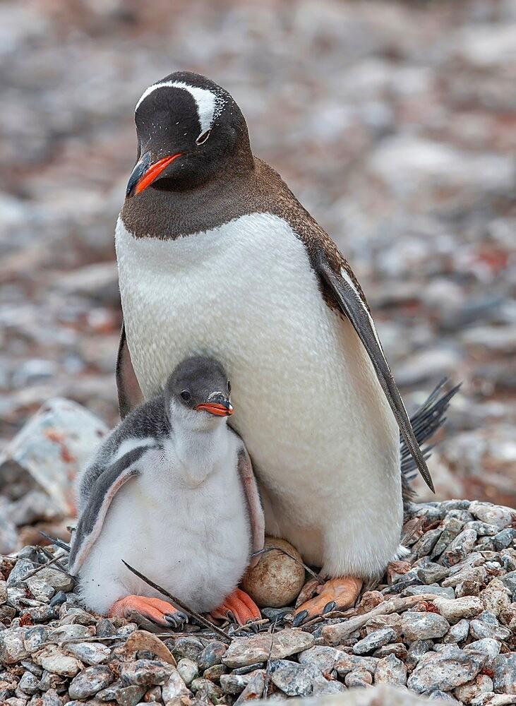 Gentoo penguin with chick and egg Antarctica, Polar Regions - 1335-97
