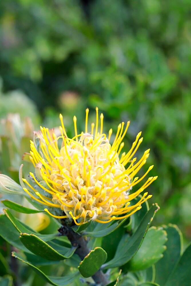Leucospermum cuneiforme - Common Pincushion Protea - 1338-23