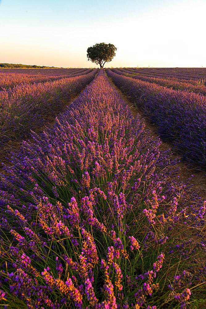 Lavender fields of Brihuega, Guadalajara, Spain, Europe - 1344-4